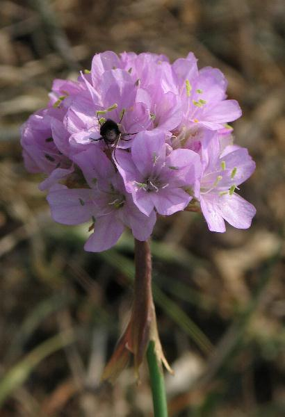 Photograph of Armeria maritima agg., Beach Thrift