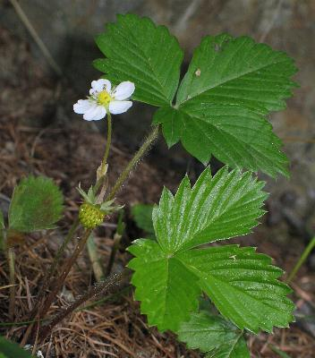 Image of Fragaria vesca, Wood Strawberry