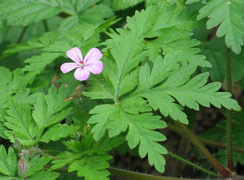 Image of Geranium robertianum, Herb Robert