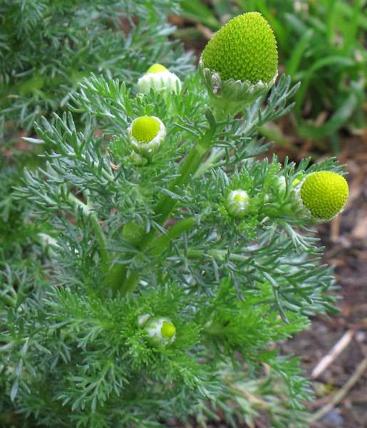 Image of Matricaria discoidea, Pineapple Weed